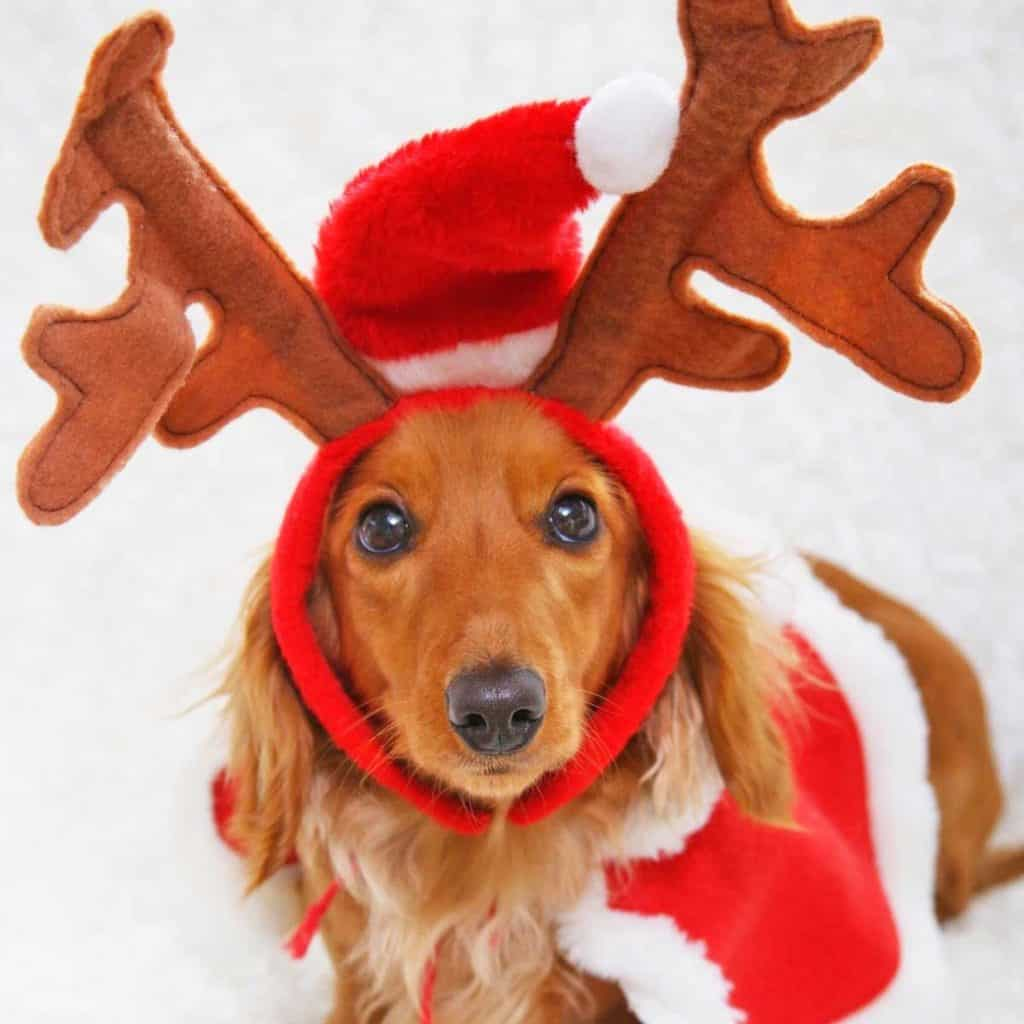 A long haired dachshund in a Santa costume with felt reindeer antlers